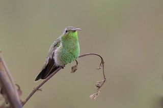- White-tailed Goldenthroat