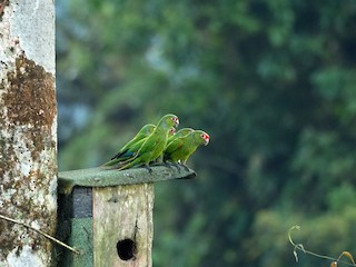 - El Oro Parakeet