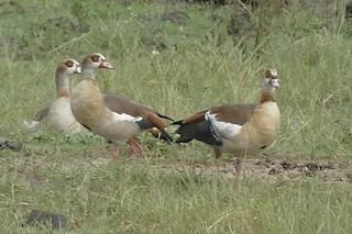 Egyptian Goose, ML93511391