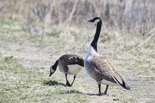 Canada Goose, ML93679121