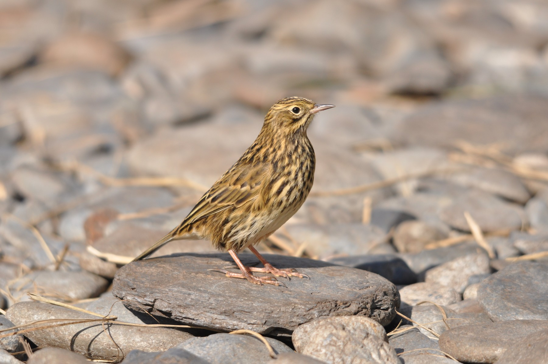 South Georgia Pipit - Heidi Krajewsky