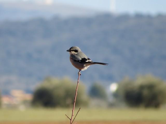 Iberian Gray Shrike