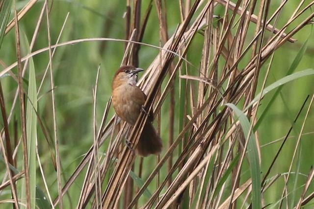Slender-billed Babbler