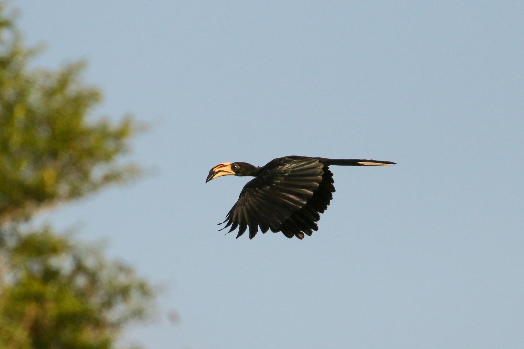 African Pied Hornbill - Tommy Pedersen
