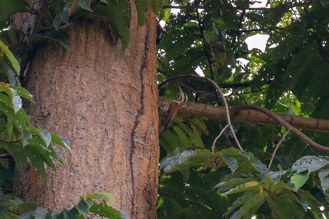 Fire-bellied Woodpecker