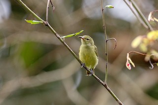 - Little Green Sunbird