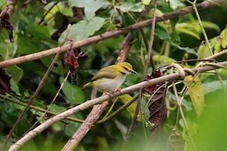 - Yellow-browed Camaroptera