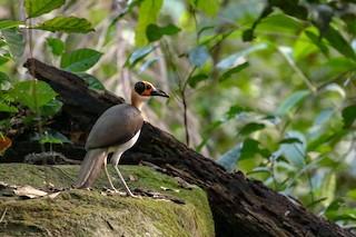 - White-necked Rockfowl