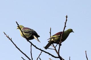 - Sri Lanka Green-Pigeon