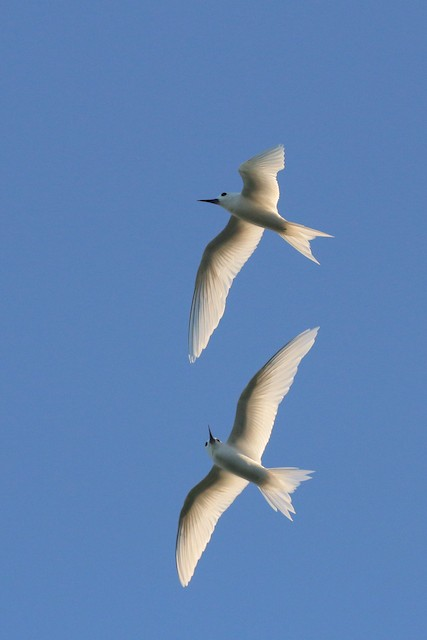 White Tern (Pacific)