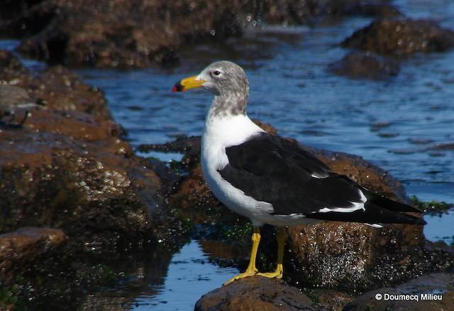 Olrog's Gull