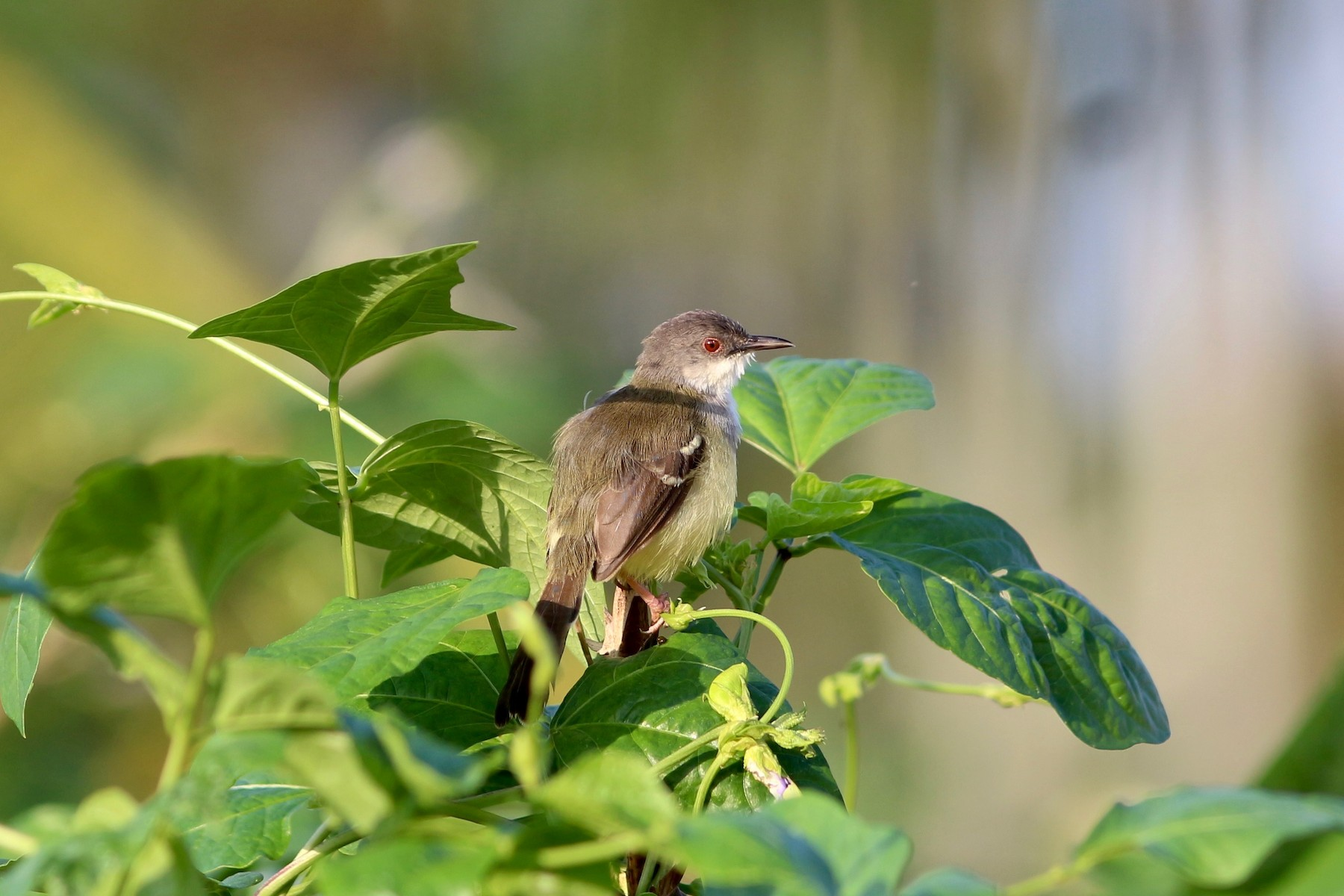 Bar-winged Prinia - Oscar  Johnson