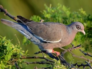 - Bare-eyed Pigeon