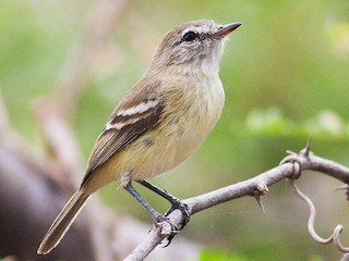- Slender-billed Tyrannulet