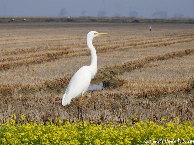©Carla Palricas - Great Egret