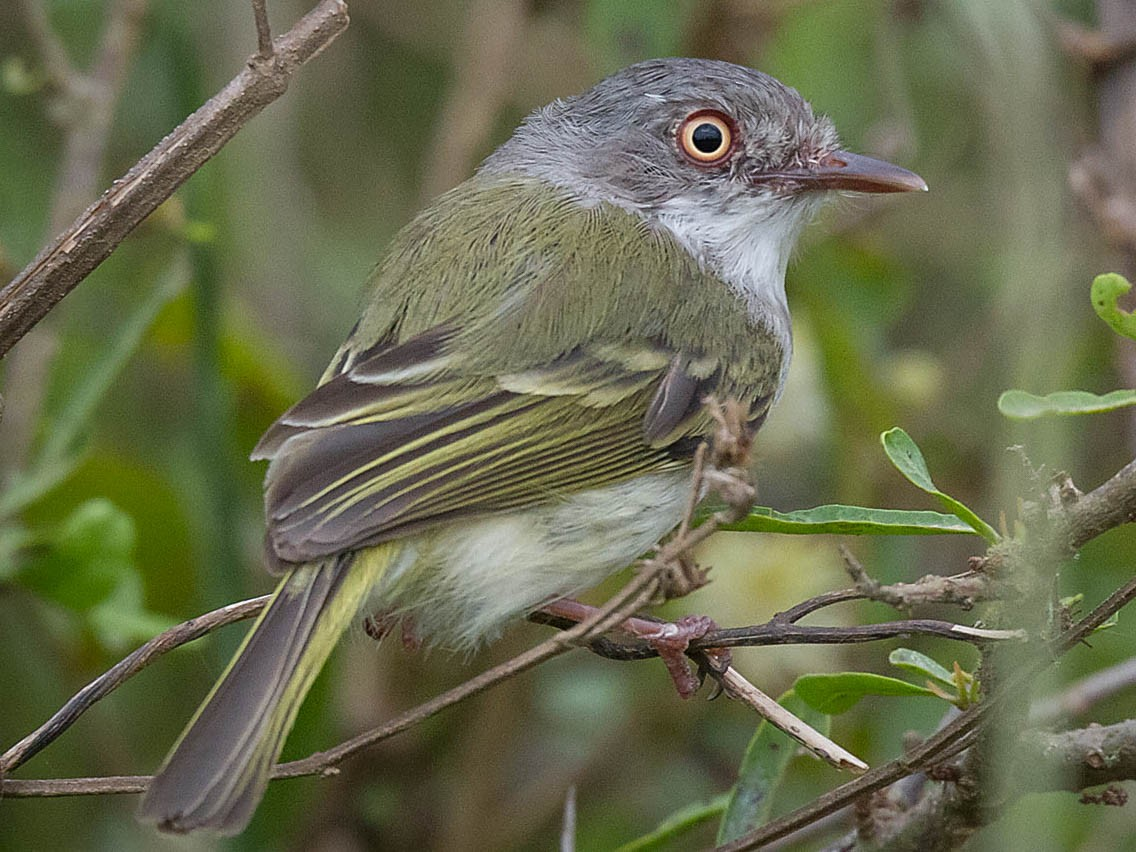 Pearly-vented Tody-Tyrant - Patricia Alfredo