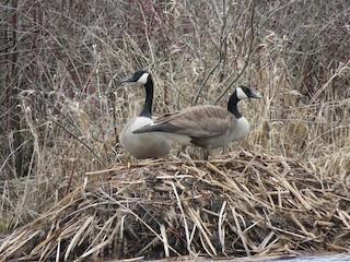 Canada Goose, ML94165271