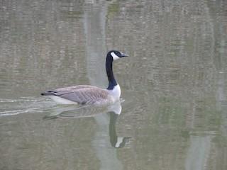 Canada Goose, ML94187261