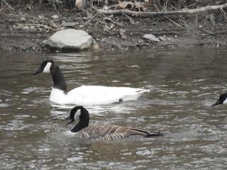 Canada Goose, ML94188501