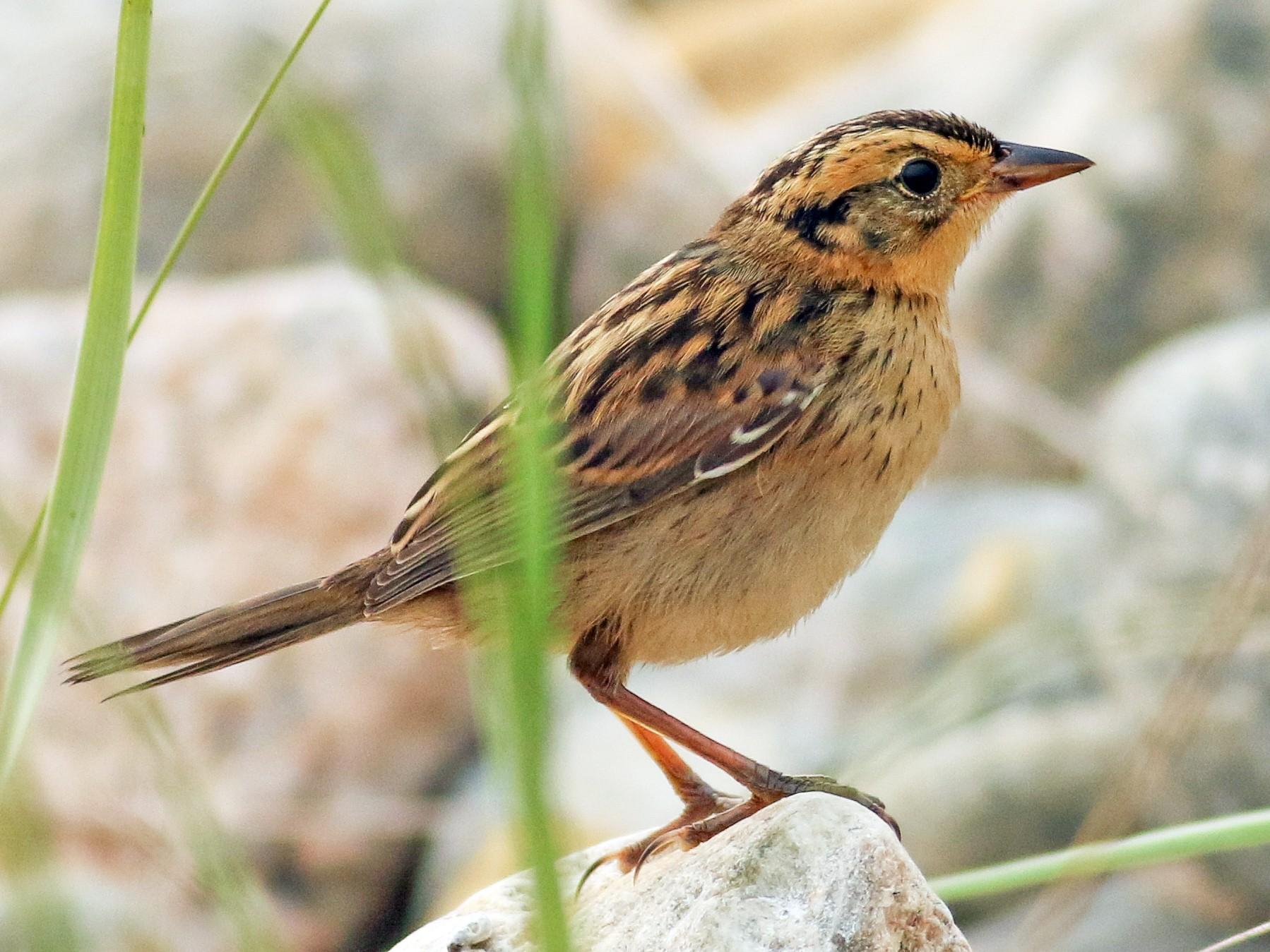 Saltmarsh Sparrow - Jonathan Eckerson