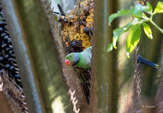 - Layard's Parakeet