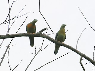 - Large Green-Pigeon