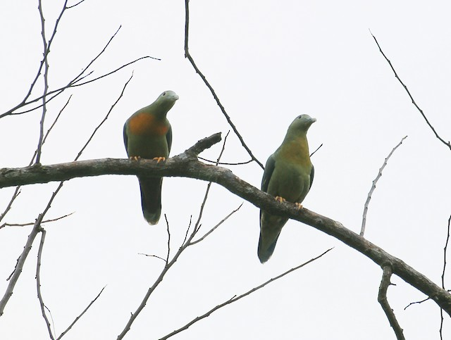 Large Green-Pigeon