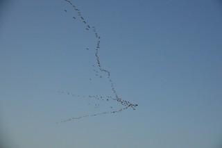 Cackling Goose (Aleutian), ML94510381