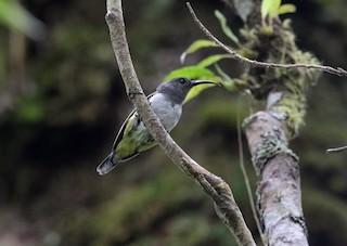 - Gray-hooded Sunbird