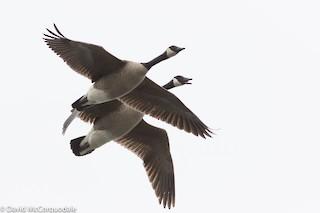 Canada Goose, ML94600061