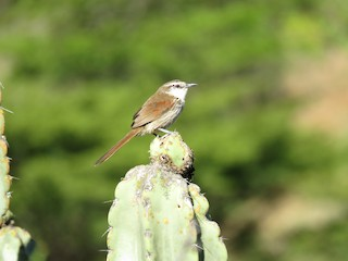 - Great Spinetail