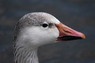 Snow Goose, ML94726771