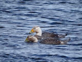 - White-headed Steamer-Duck