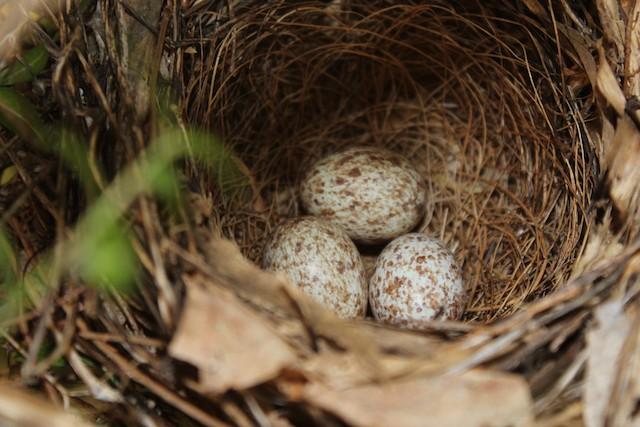 Northern Cardinal eggs.