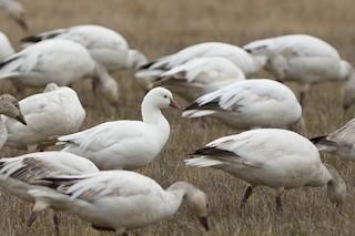 Ross's Goose, ML94846051