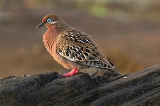 Galapagos Dove, ML94947341