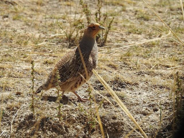 Daurian Partridge