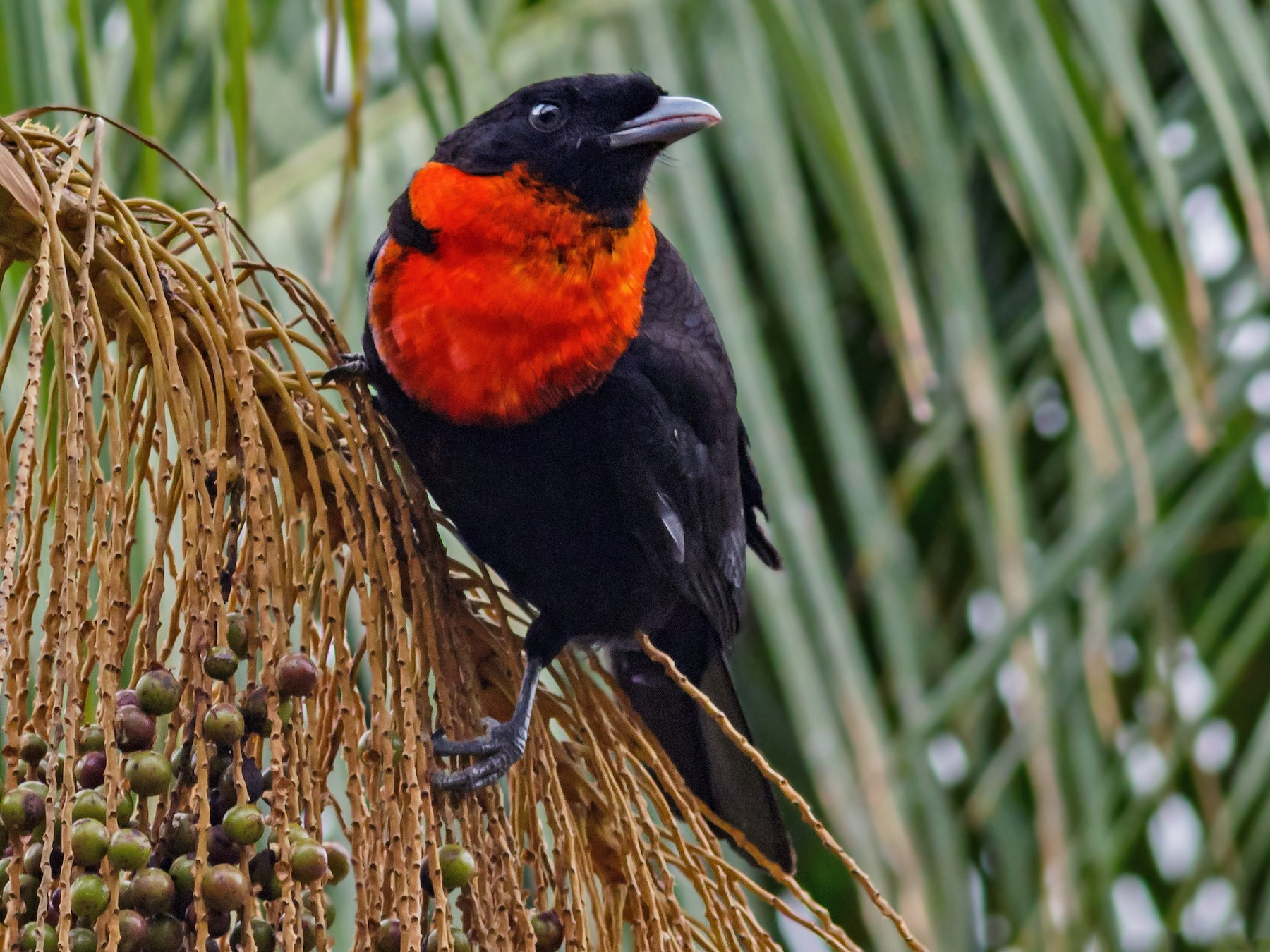 Red-ruffed Fruitcrow - Kacau Oliveira
