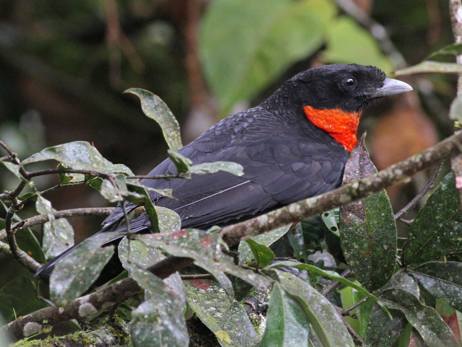 Red-ruffed Fruitcrow - Michael McCloy