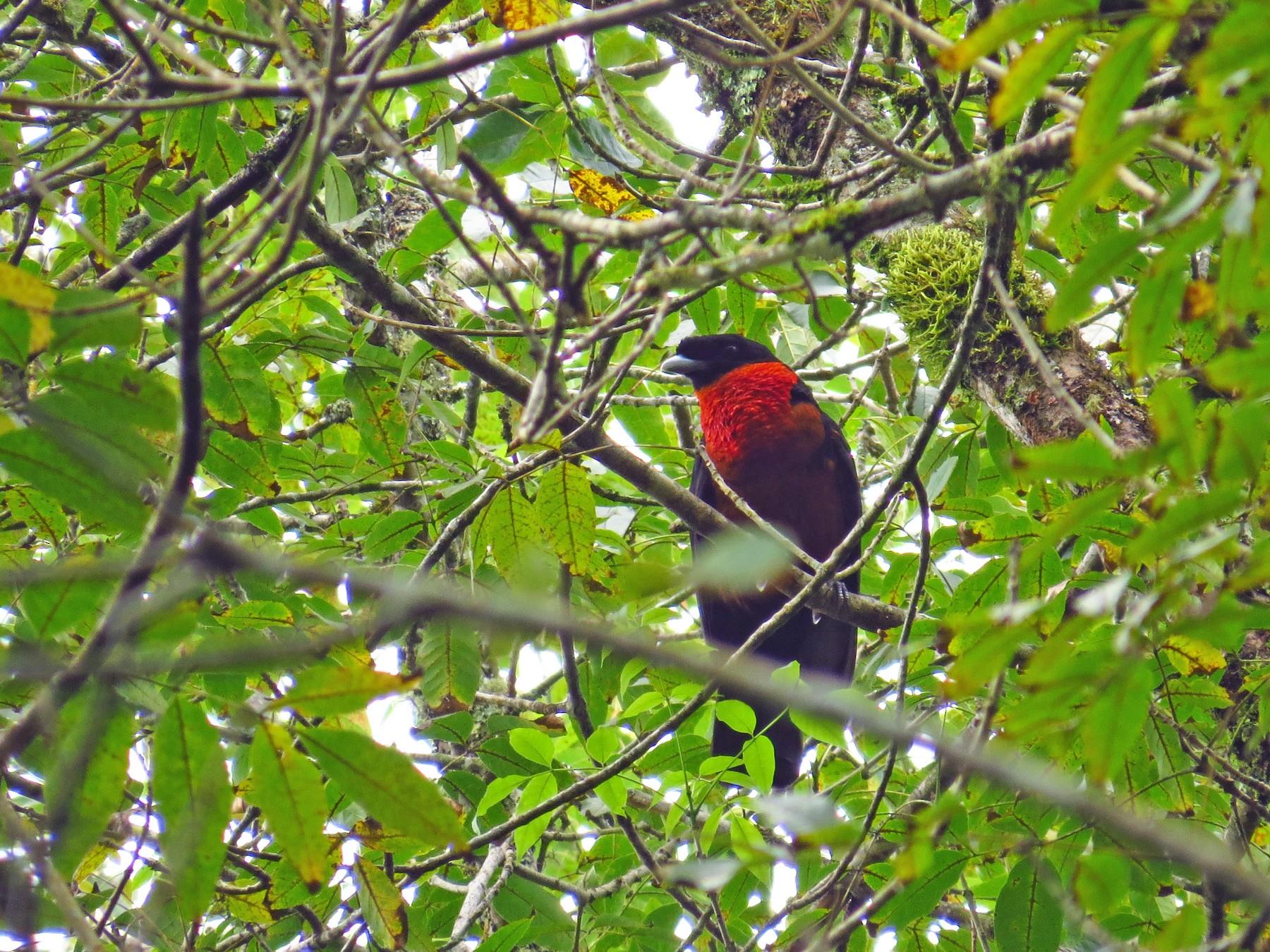 Red-ruffed Fruitcrow - Jorge Muñoz García   CAQUETA BIRDING
