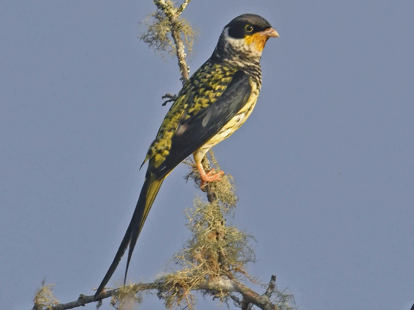 Swallow-tailed Cotinga - Tini & Jacob Wijpkema