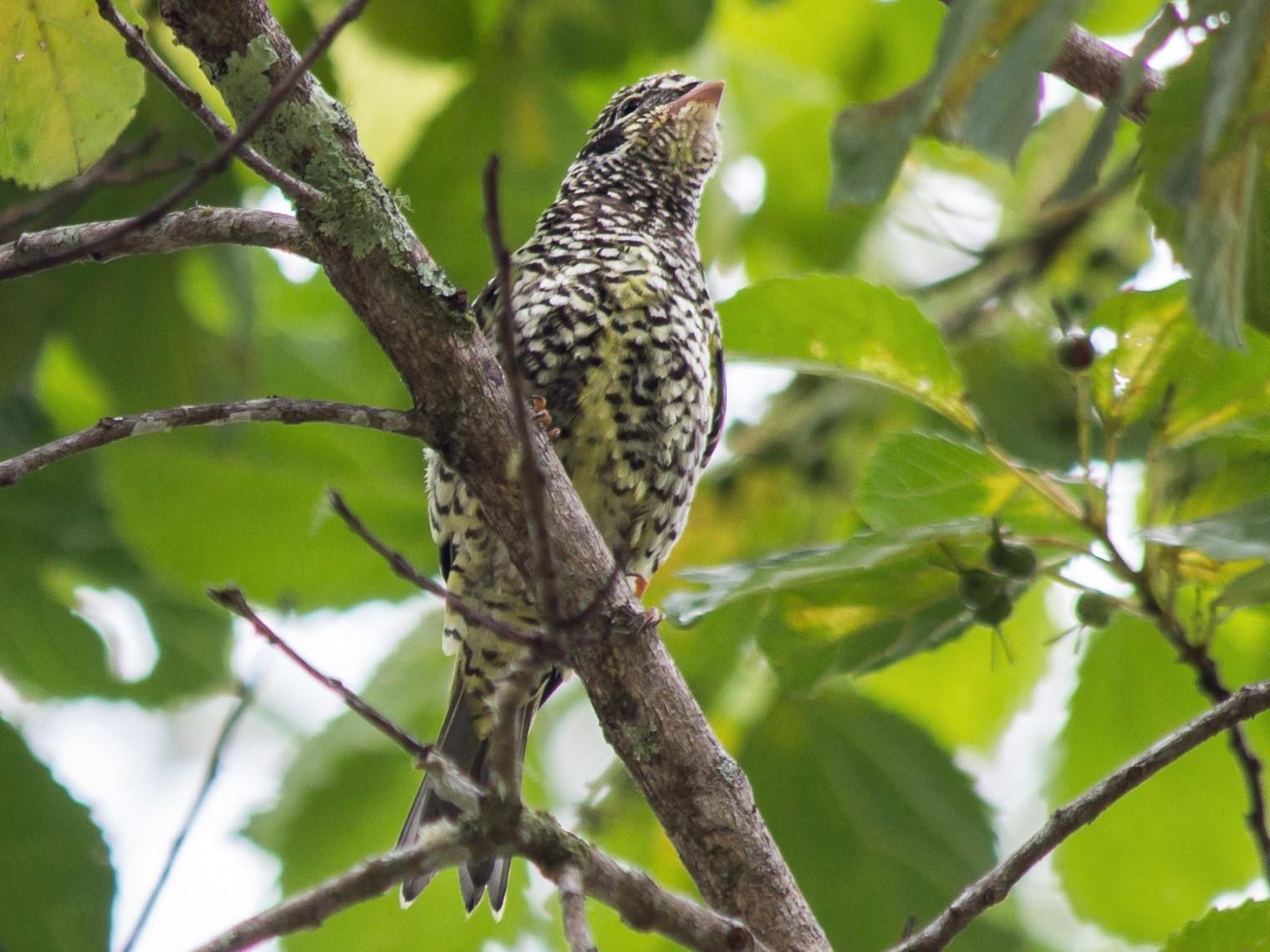Swallow-tailed Cotinga - André  Zambolli