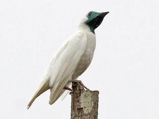 - Bare-throated Bellbird
