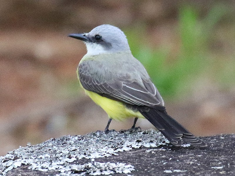 White-throated Kingbird - Fabrice Schmitt