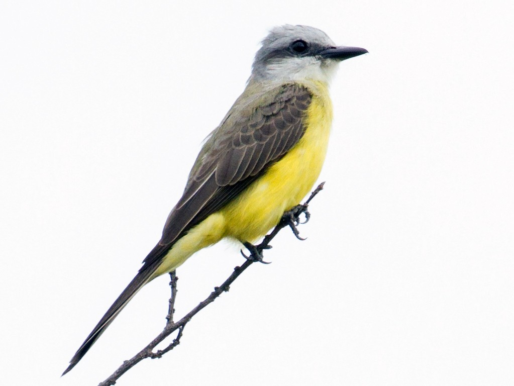 White-throated Kingbird - Cullen Hanks