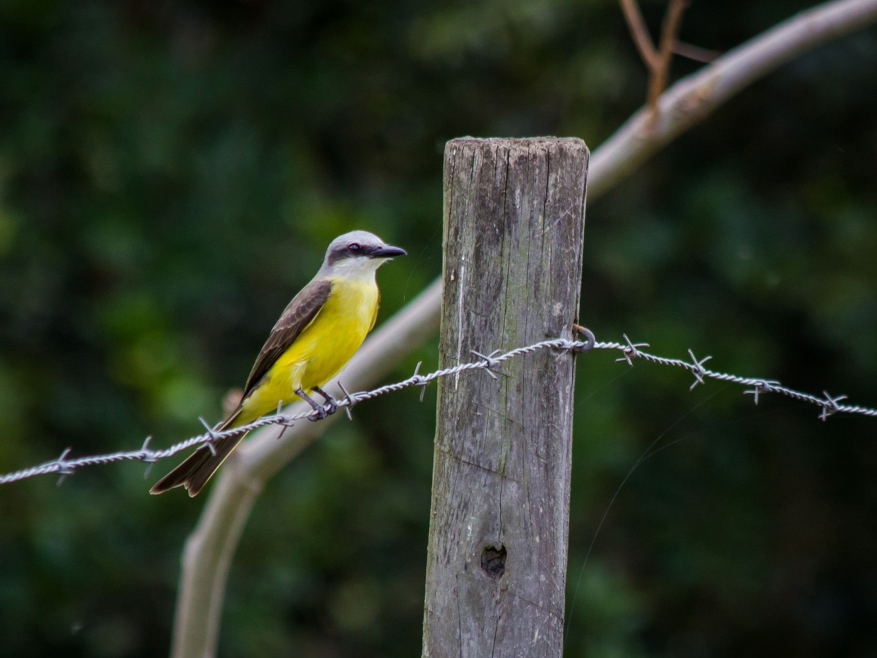 White-throated Kingbird - André  Zambolli