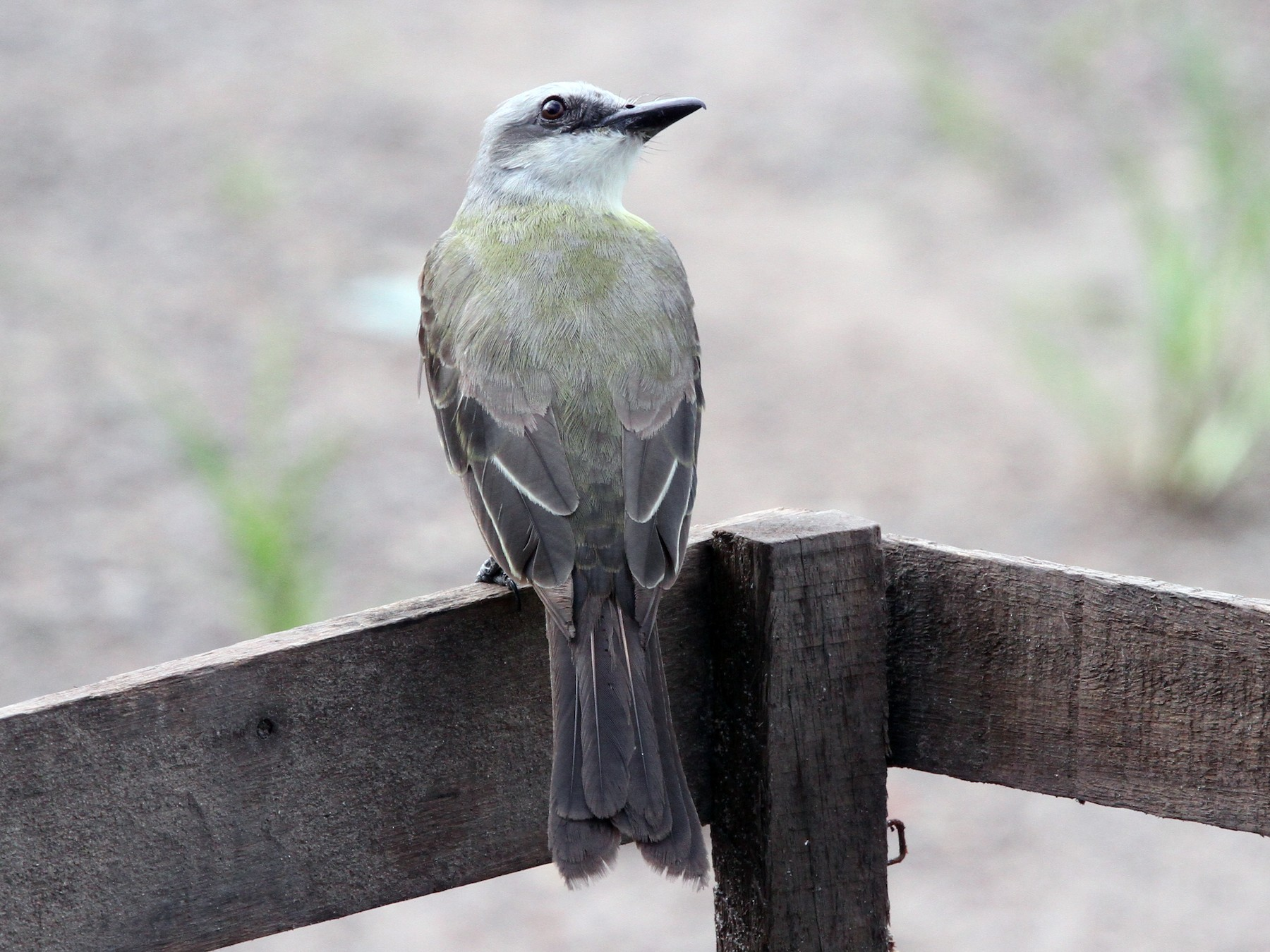 White-throated Kingbird - Ian Thompson