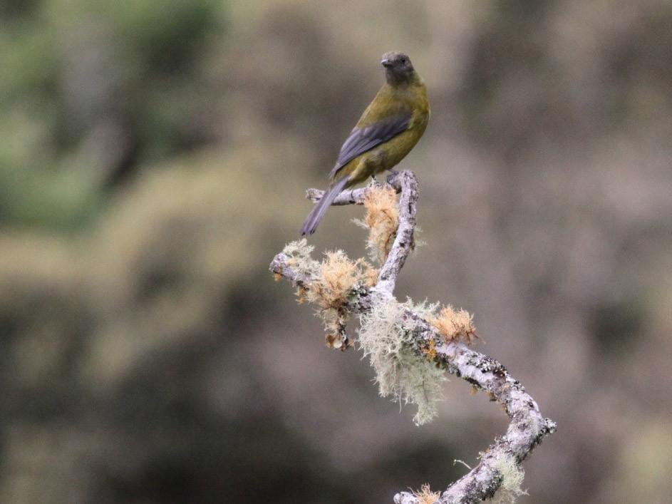 Gray-winged Cotinga - Michael Todd