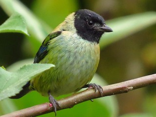 - Black-headed Tanager