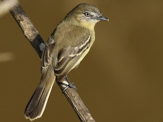 - Pale-tipped Tyrannulet